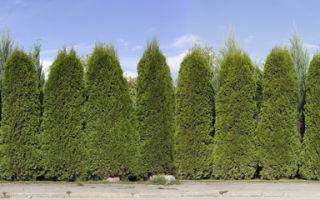 В наше время очень много видов живой изгороди.