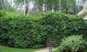 Растения, которые могут оплетать ограждения (забор).