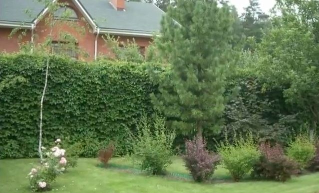 Забор из девечьево виноградаю
